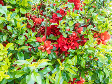 Japanese quince blooms in the garden. Beautiful quince flowers, red flowers, bush. Natural background Foto de archivo