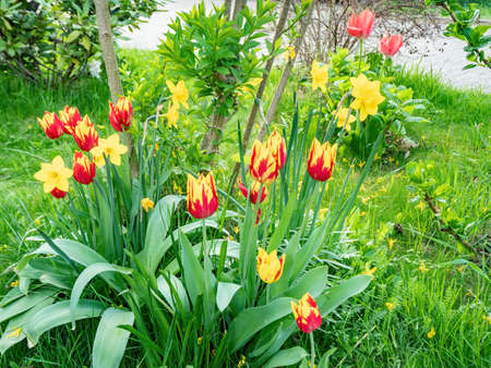 Scarlet red and yellow fresh springtime tulip flowers with green leaves growing in garden, close up