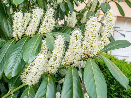 Cherry laurel (Prunus laurocerasus Genolia) blossom in springtime, background of flowers and leaves