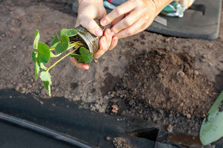 Planting strawberry seedling on spunbond, digging pits using a scoop, guide step by step