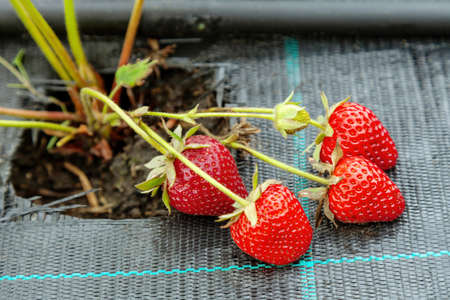 Growing strawberries on black textile with drip watering, bed covered with agro fiber