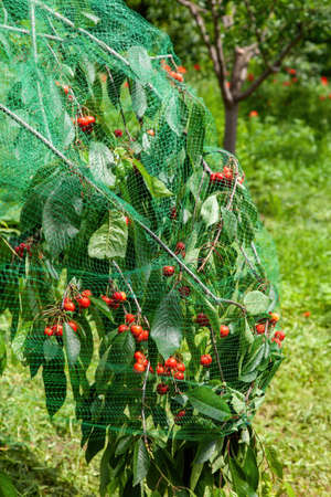 Cherries on the tree with protective netting to keep birds, protection of harvest in the garden Foto de archivo