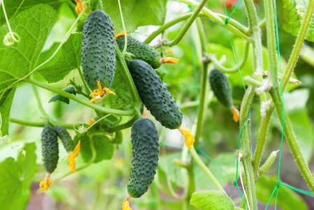 Green ripe cucumbers hanging on the branch in greenhouse close-up Foto de archivo