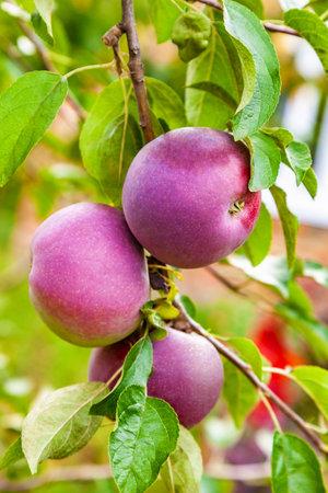 Ripe ed apples hanging on a branch in the garden closeup Foto de archivo
