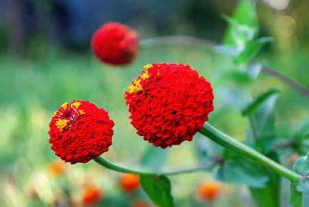 Photography Close-up Of A Zinnia Flower (Zinnia Elegans) Taken In A Garden Foto de archivo