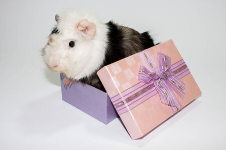 Guinea pig in the gift box on the white background. Stock Photo