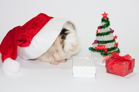 christmas guinea pig: Santa Claus hat with christmas tree and gifts and guinea pig. Stock Photo