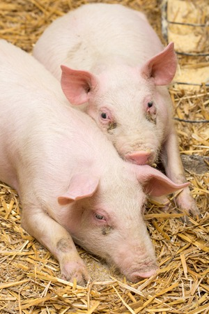 Piglets laying on the hay in the barn Stock Photo