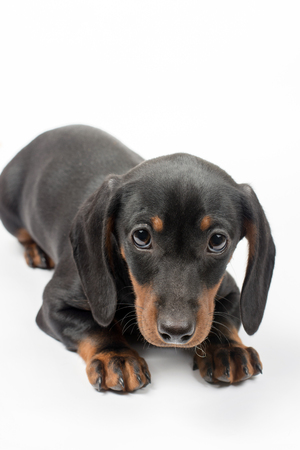 Portrait of black puppy dachshund with sad look over white background with copy space