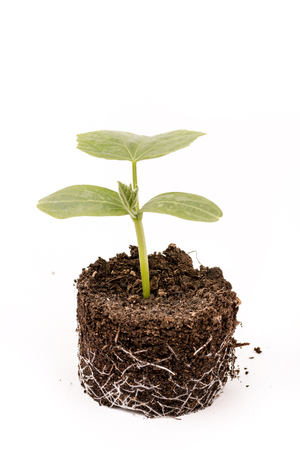 ball lump: Cucumber baby plant in soil with roots over white