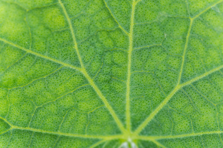 Cucumber leaf abstract background close up macro Stock Photo