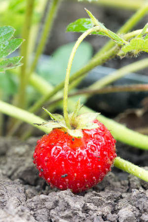 Red strawberry in the garden on the soil