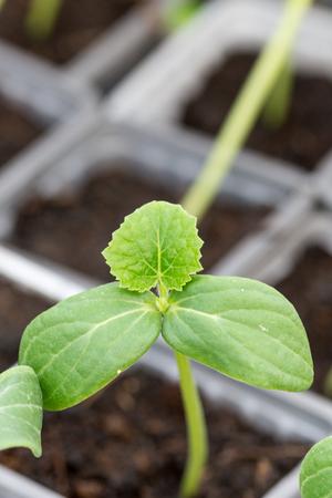conservatory: Cucumber nursery plant grean leaf macro closeup.