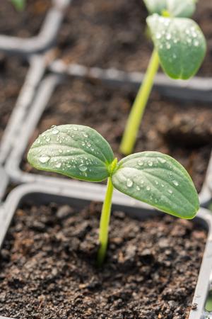 Macro shot of nursery cucumber leaf with water droplets.