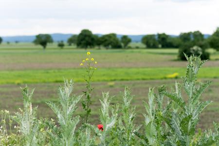 Green weeds in the field crop disease Stock Photo
