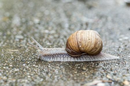 Garden snail running on the asfalt. Closeup macro nature animals.