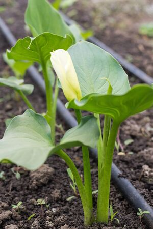Calla flower with leafs in greenhouse growing