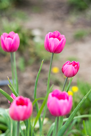 Pink tulips in shallow depth of field. Stock Photo