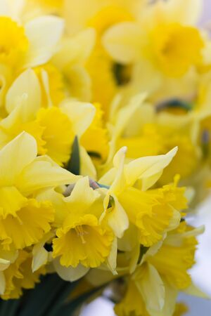 A bouquet of daffodils in macro shot. Stock Photo