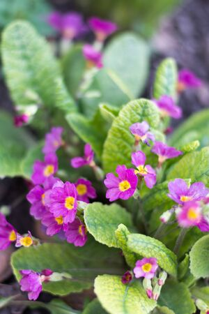 Primrose flowers with leaves in the background. Stock Photo