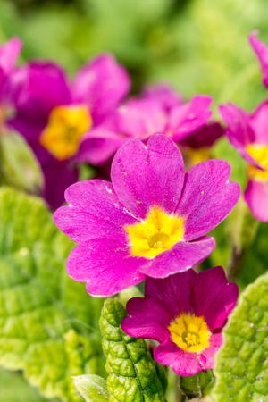 dibble: Macro photography of evening primrose flower closeup nature