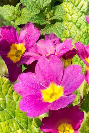Macro photography of evening primrose flower. Focus stacking. Stock Photo