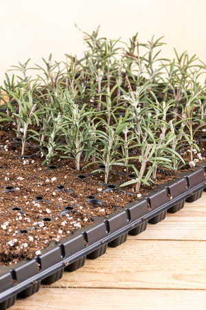 conservatory: Propagating rosemary small plants in the plastic nursery box Stock Photo