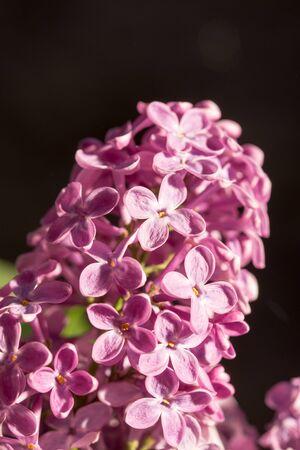 brightness: Purple lilac flower on the sunny brightness.