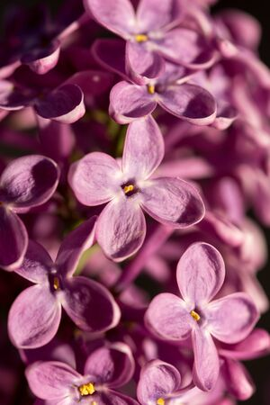 brightness: Closeup macro of purple lilac flower on the sunny brightness. Stock Photo
