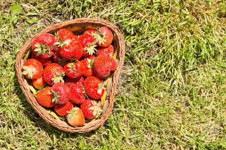 Basket full of fresh strawberries on the grass background.