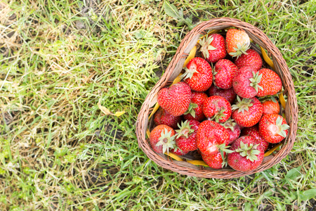 Flat lay just picked fresh strawberries in the basket above gree