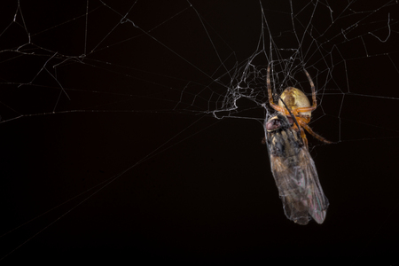 eerie: Spider eating fly caught in the net with black background. Stock Photo