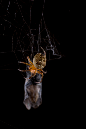 garden spider: Spider eating fly caught in the net with black background. Stock Photo