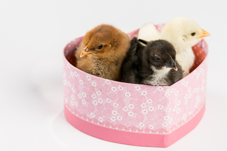 Little baby chickens in the heart shaped box above white background