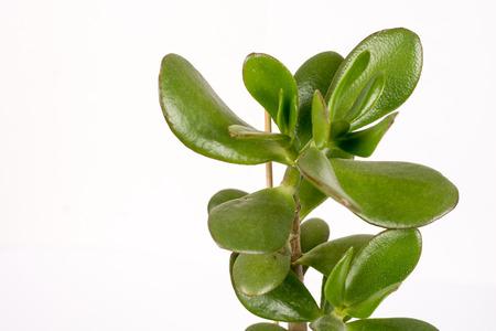 jade plant: Feng shui money tree or crasula ovata isolated over white background.