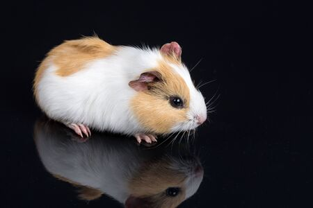 Cute little baby pet white brown guinea pig isolated on the black background with reflections.