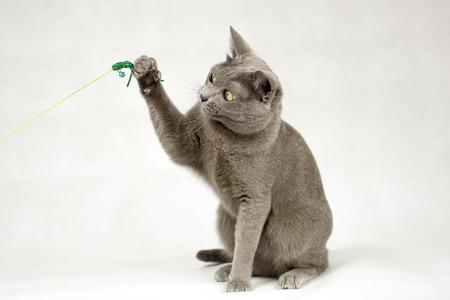 korat: Blue Korat cat playing with toy on white background Stock Photo