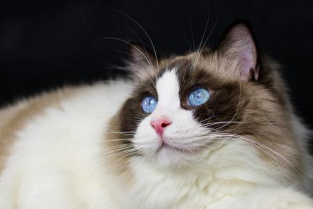 ragdoll: Ragdoll cat with big blue eyes on black background