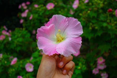 flower,beautyful pink flower,flowers in garden image background