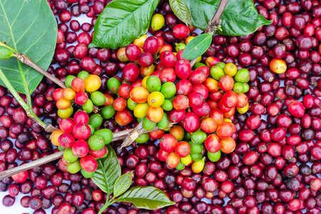 Laos coffee, pakxong coffee fruits farming in Asia
