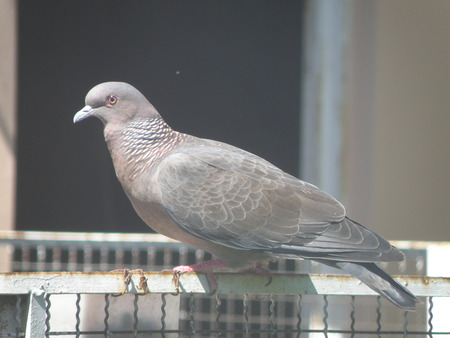 pigeon egg: attentive dove foraging gray