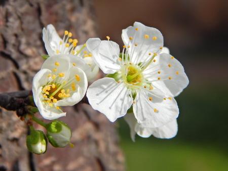intense flavor: Pretty plum blossom