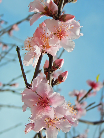that beautiful peach blossoms Imagens