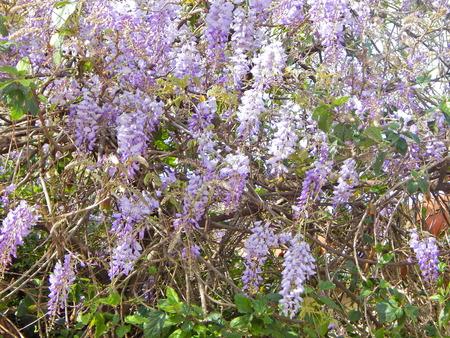 wisteria bower Imagens