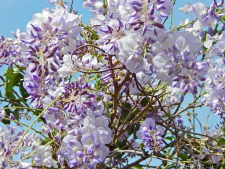 wisteria-laden branch