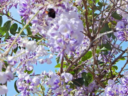 bumblebee on wisteria