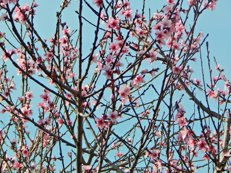 peach blossom Imagens