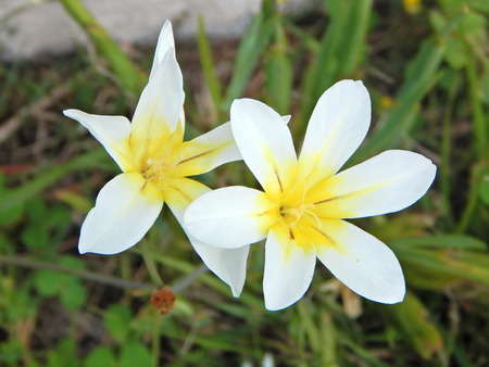 Flowers with six white petals and yellow center