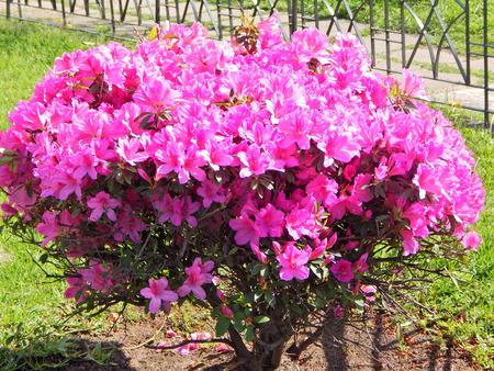 completely covered plant flowers colored pink