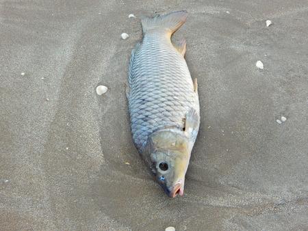 croaker dead on beach